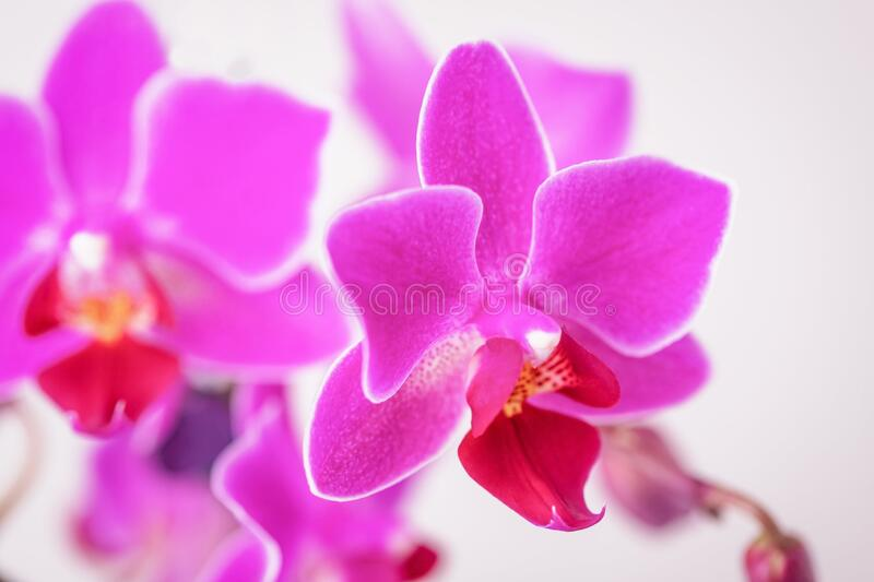 Beautiful pink fuchsia color phalaenopsis orchid flowers. On a white background royalty free stock photos