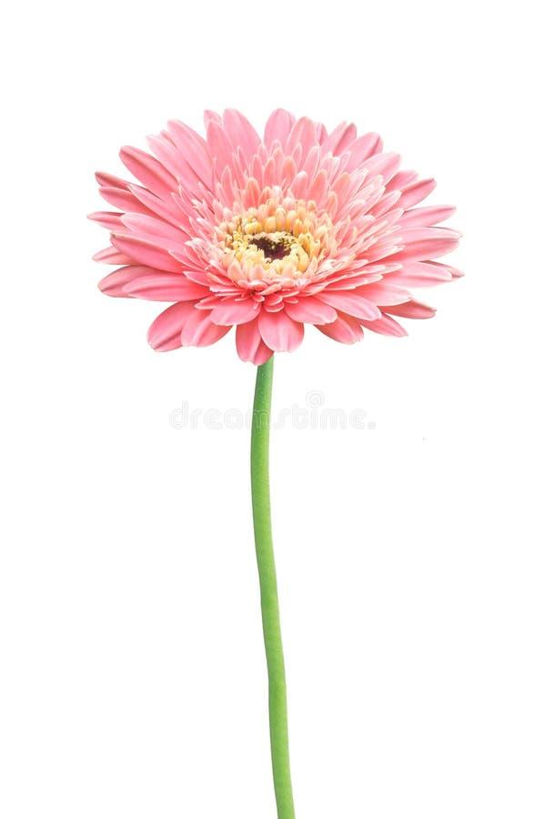 Beautiful pink gerbera daisy flower isolated stock photography
