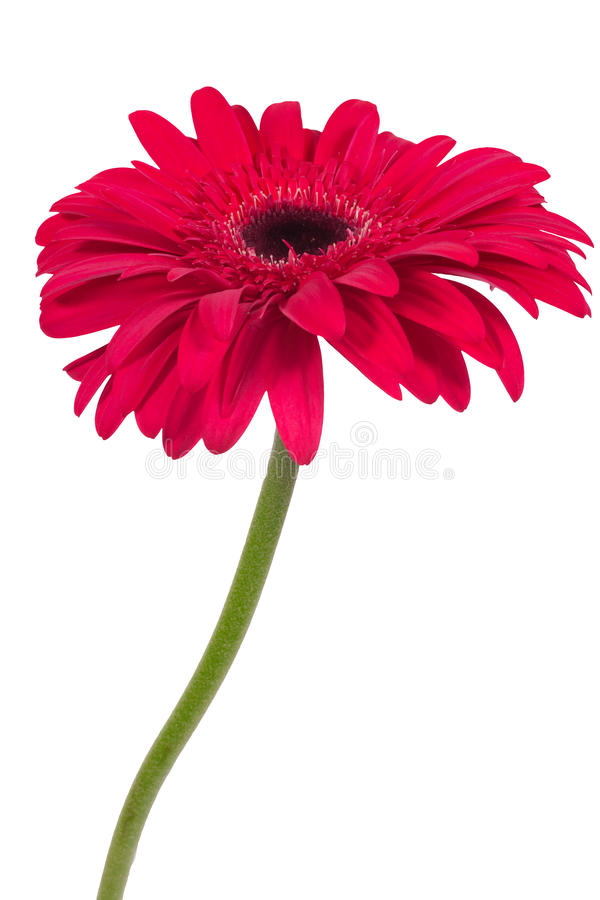 Beautiful pink gerbera flower isolated on white background. Plant stock photo