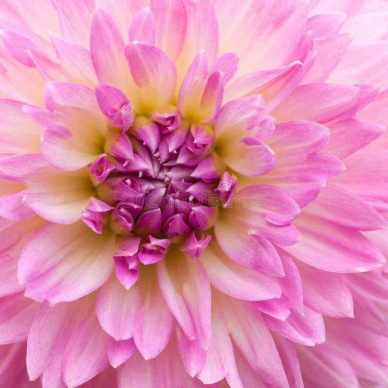 Beautiful pink gladiolus royalty free stock image