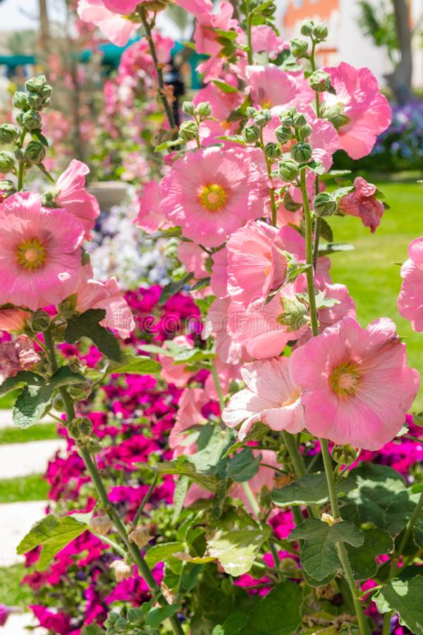 beautiful pink gladiolus and petunia flower isolated in sunny day, blue sky, green grass royalty free stock photo