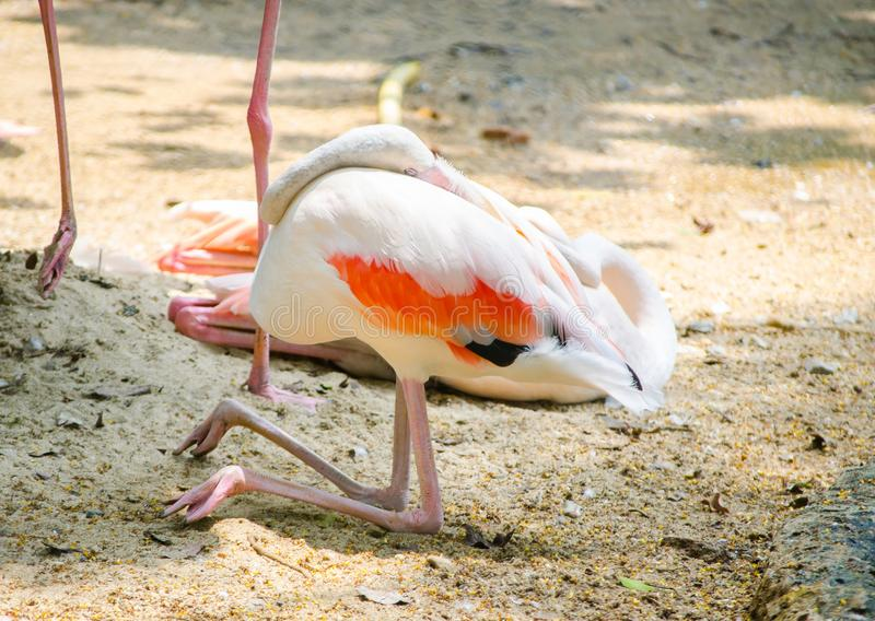 Beautiful pink greater flamingo bird resting and sleeping by sitting on its knee. Type of wading bird in the family Phoenicopteridae royalty free stock photography