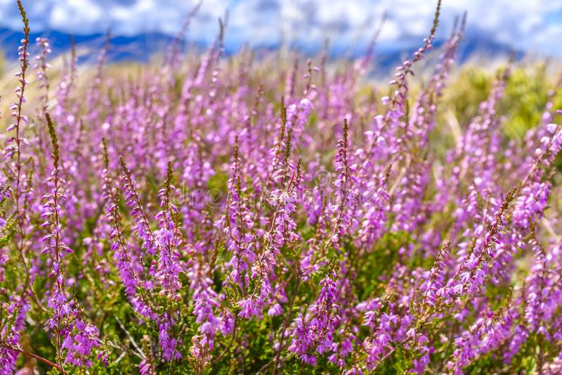 Beautiful Pink Heather royalty free stock photography