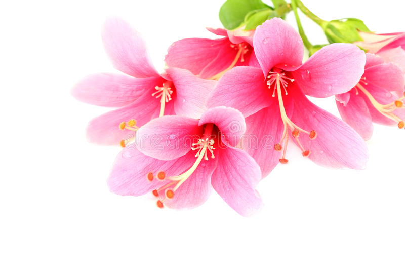 Beautiful pink Hibiscus or Chinese rose flower isolated on a white background stock images