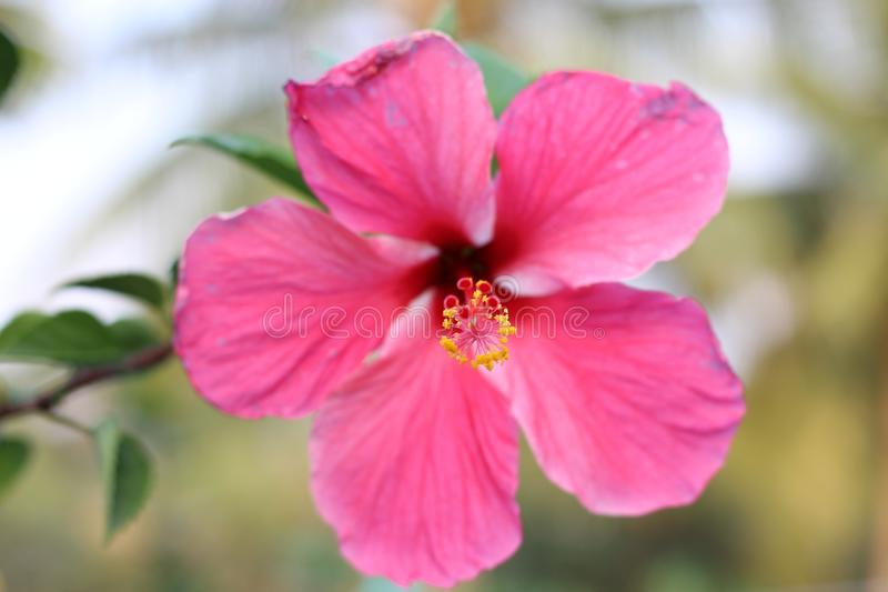 A Beautiful pink hibiscus flower blooming in the garden royalty free stock photography