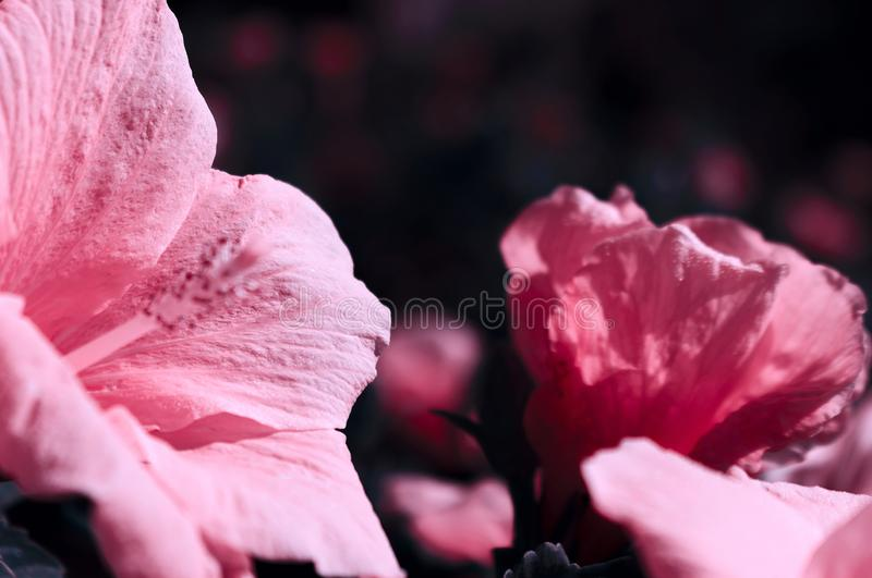 Beautiful pink hibiscus flower on nature on soft light - dark background royalty free stock photo
