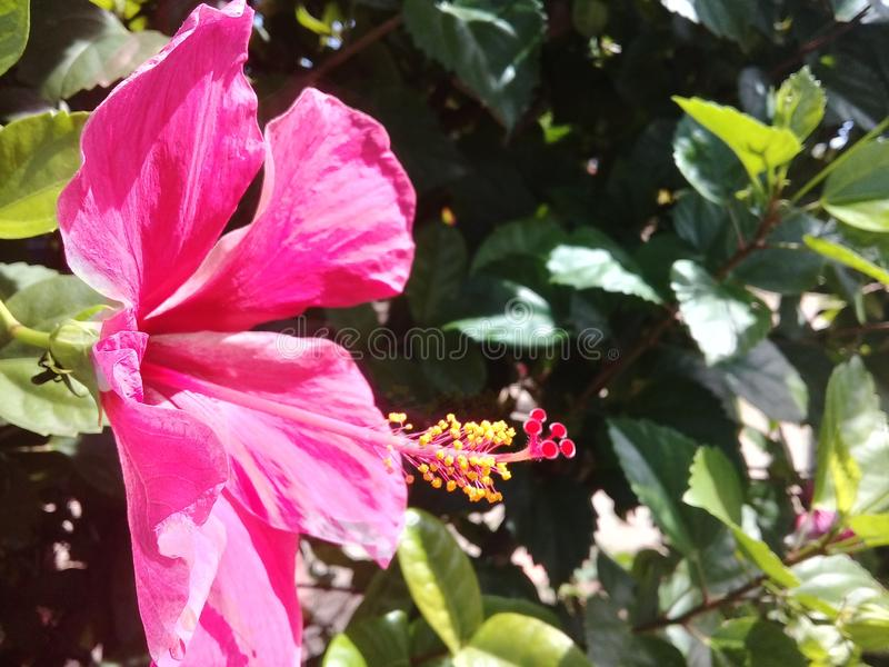 Beautiful pink hibiscus in a garden. And green leafs behind royalty free stock photos