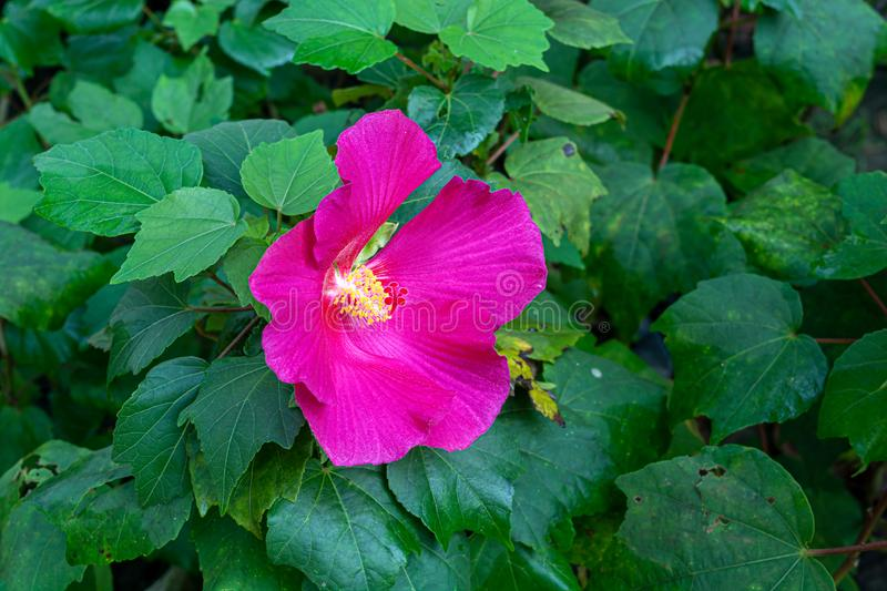 Beautiful pink hibiscus mutabilis or confederate rose flower blooming in a flower nursery royalty free stock photography