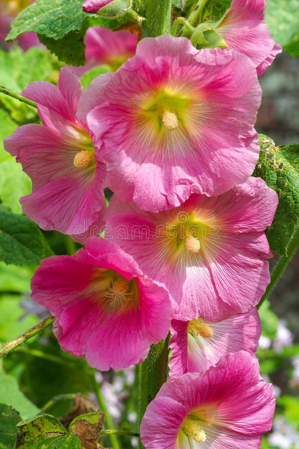 Beautiful pink hollyhock Alcea flowers royalty free stock photography