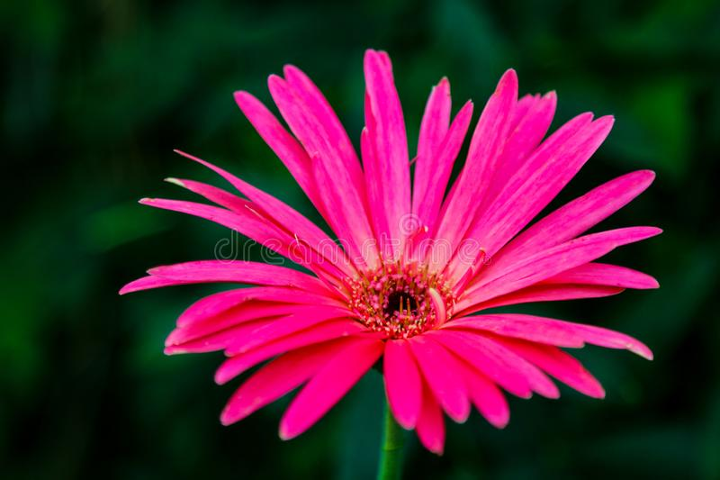 Beautiful pink hybrid Gerbera or Barberton daisy flowers royalty free stock photos