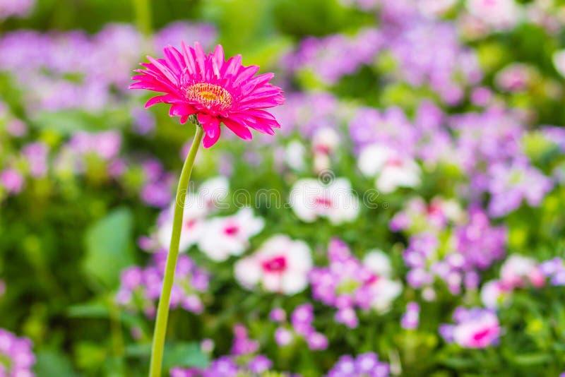 Beautiful pink hybrid Gerbera or Barberton daisy flowers (Gerbera jamesonii hybrida) on the flowerbed. Gerbera jamesonii, also kno stock photos