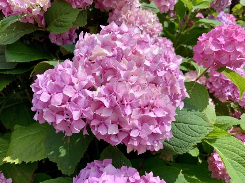 Beautiful pink hydrangea flower - detail royalty free stock photography