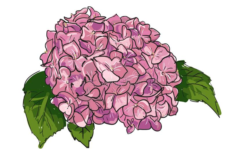 Beautiful pink hydrangea flowers. Decorative floral illustration. Single hand drawn line hortensia on white background. Summer stock illustration