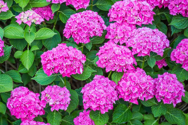 Beautiful pink hydrangea flowers in the garden royalty free stock photography