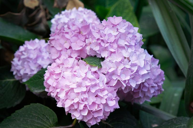 Beautiful pink hydrangea or hortensia flower close up. Artistic natural background. flower in bloom in spring royalty free stock photography