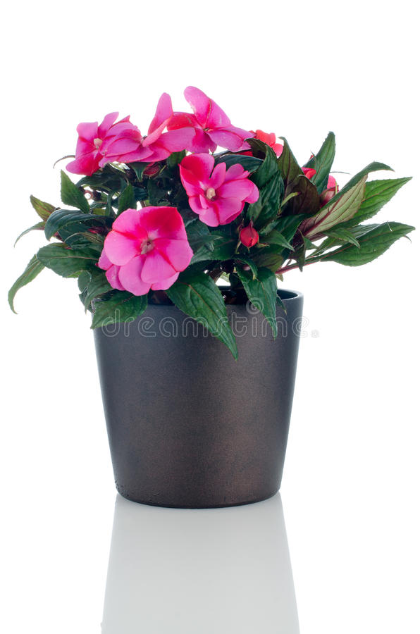 Beautiful pink impatiens flowers royalty free stock photography