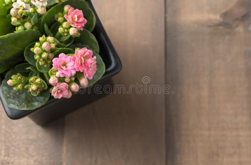 Beautiful pink Kalanchoe or Flaming Katy flower in small pot stock photos