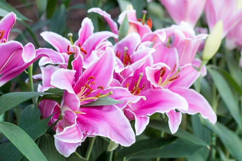 Beautiful pink lily flower royalty free stock photo