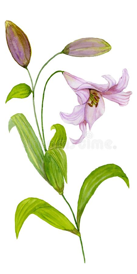 Beautiful pink lily flower on a stem with green leaves and buds. Watercolor painting. Hand painted. Isolated on white background. royalty free illustration