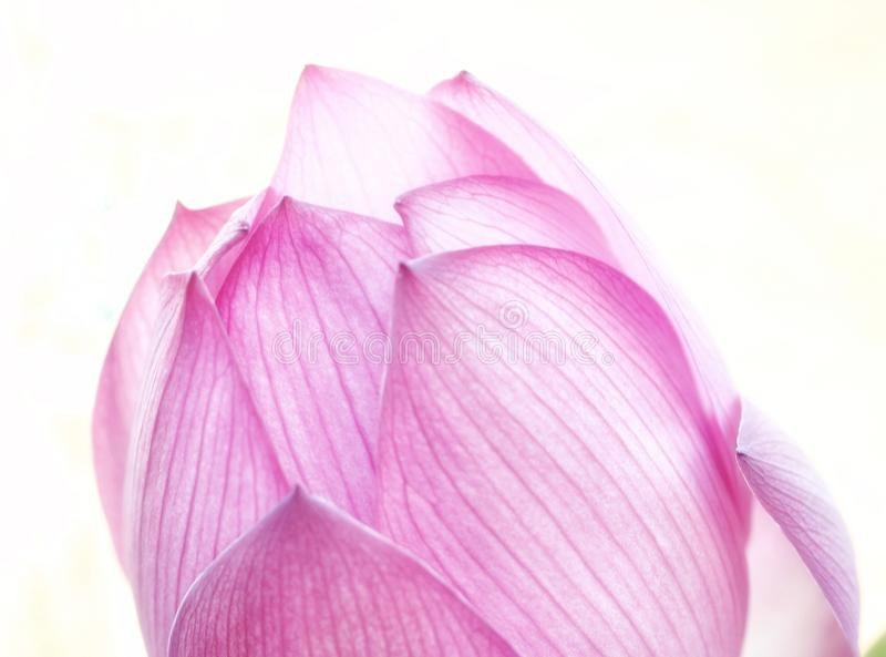 A Pink Lotus Bloom reaches for the sun. stock photography
