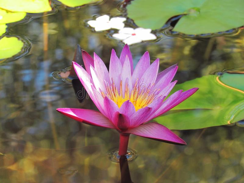 Beautiful Pink Lotus bloom in a pond with green leaves. And sunlight in the daytime stock photo