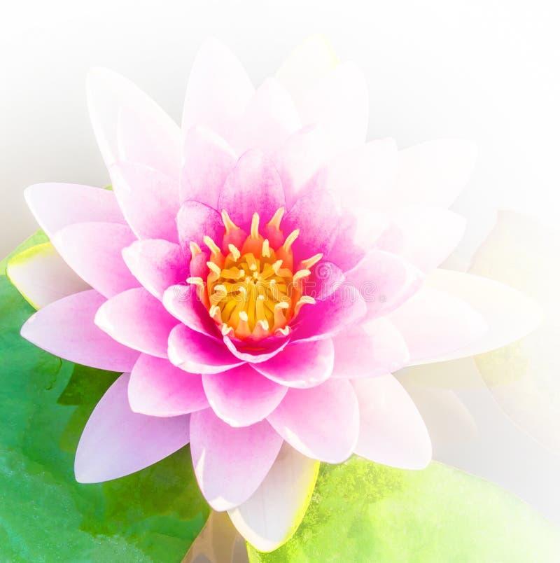 Beautiful Pink Or Lotus Flower Background Stock Image