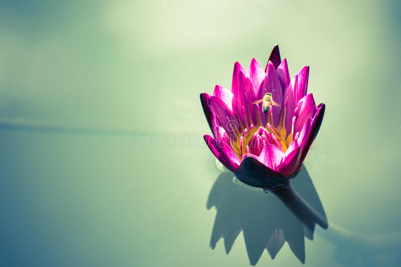 beautiful pink lotus flower with bee flying above on deep blue w stock photography