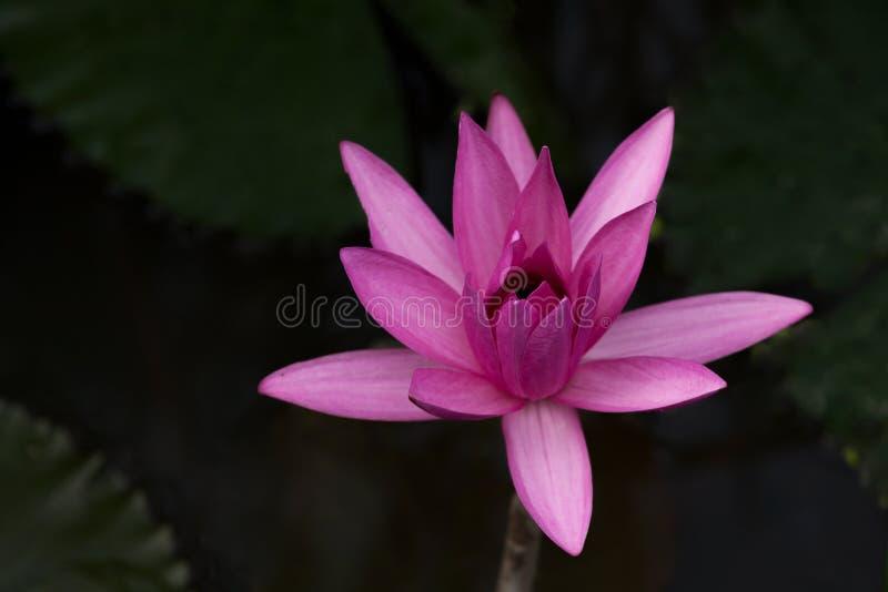 A beautiful pink lotus flower stock image