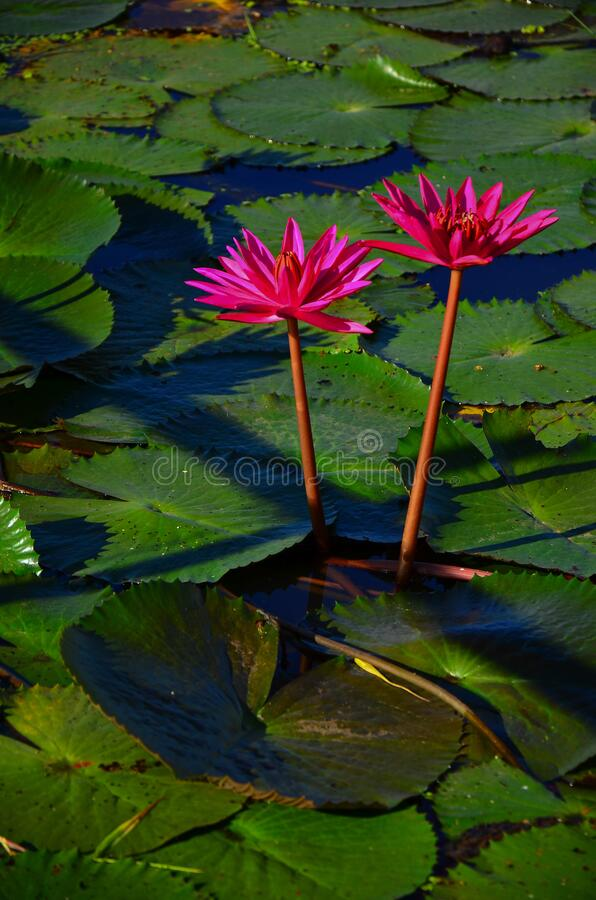 Beautiful pink lotus flower in pond  at Thung Bua Daeng Ban Na Nakhon Nayok stock photos