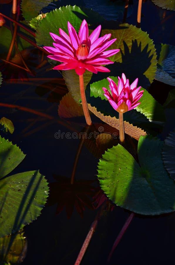 Beautiful pink lotus flower in pond  at Thung Bua Daeng Ban Na Nakhon Nayok stock photography