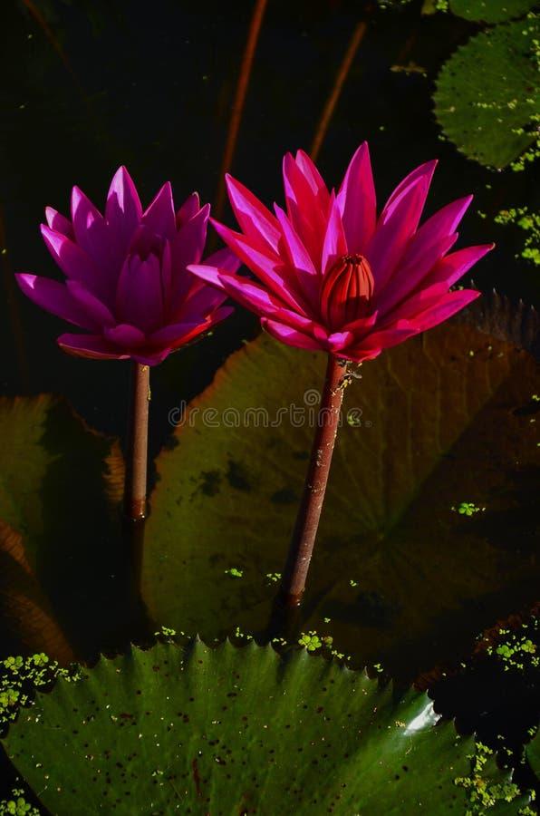 Beautiful pink lotus flower in pond stock image