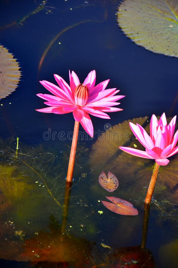 Beautiful pink lotus flower in pond stock photography