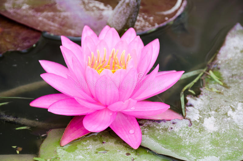 Beautiful pink lotus in the pond on cloudy day royalty free stock photo
