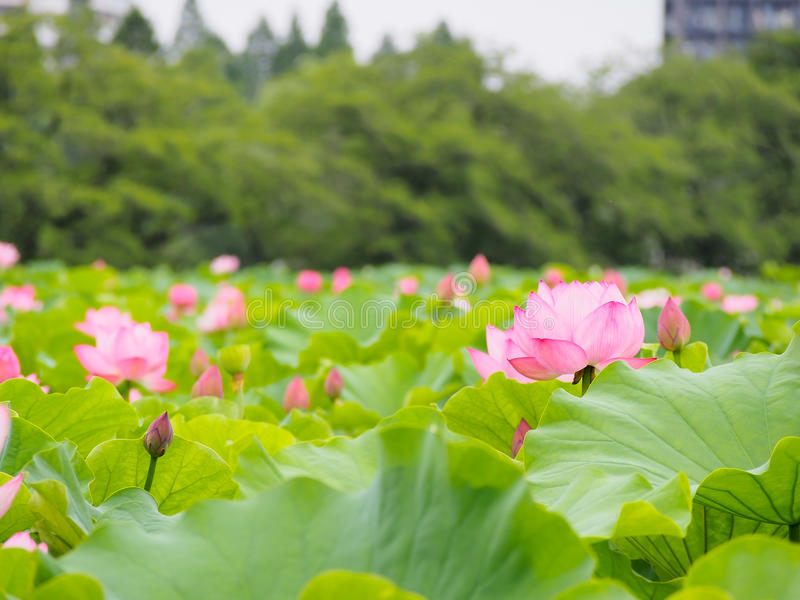 Download Beautiful Pink Lotus In Ueno Park, Tokyo, Japan Stock Image - Image of japan, season: 77783999