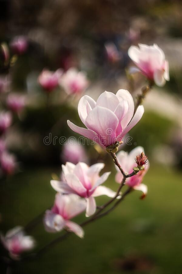 Free Beautiful Pink Magnolia Soulangeana Flowers On A Tree. In The Spring Garden, Magnolia Blooms With The Scent Of Tulips. Blooming Ma Royalty Free Stock Images - 194259809