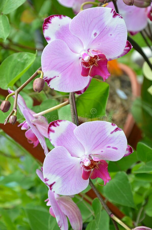 Pink moth orchids stock photography