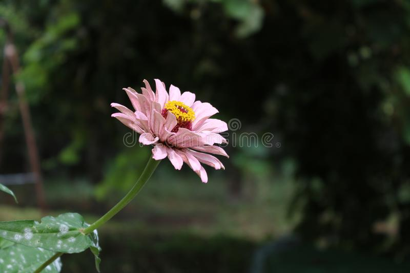 Beautiful pink natural flower from the garden. stock photos