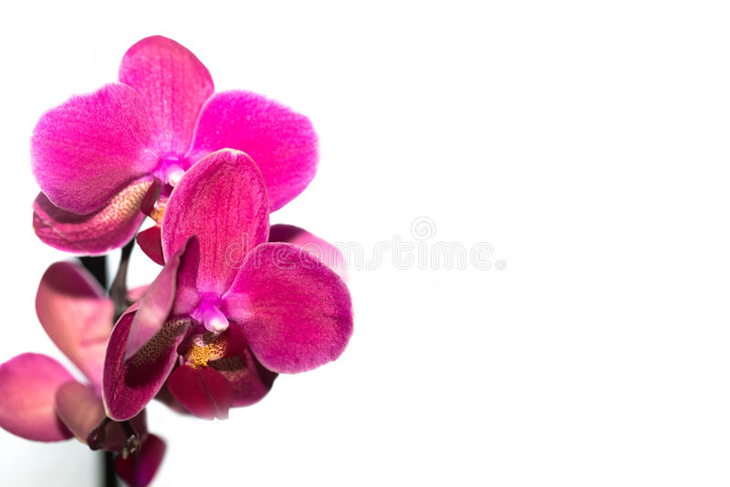 Beautiful pink Orchid flower on a light background. isolated royalty free stock photos