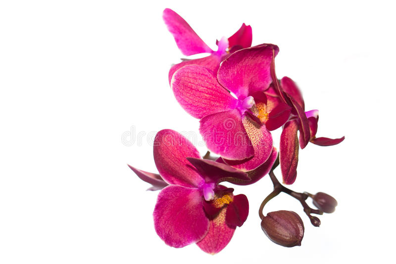 Beautiful pink Orchid flower on a light background. isolated stock photo