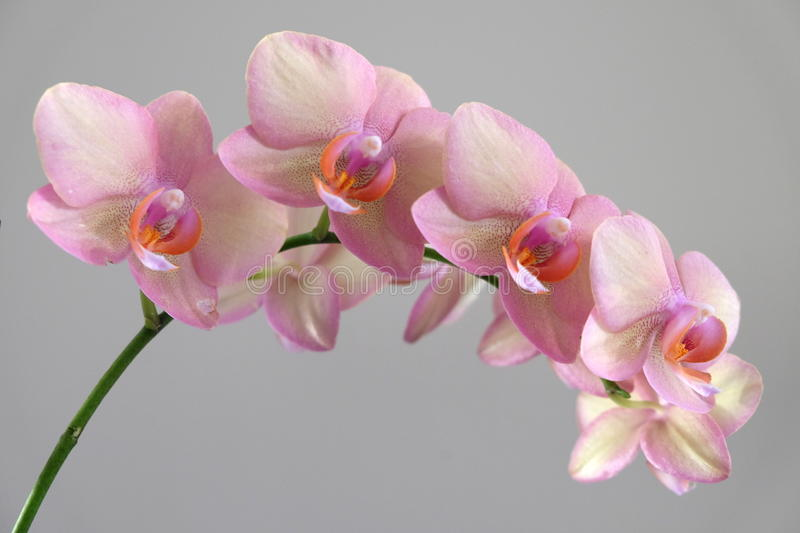 Beautiful Pink Orchid royalty free stock photo