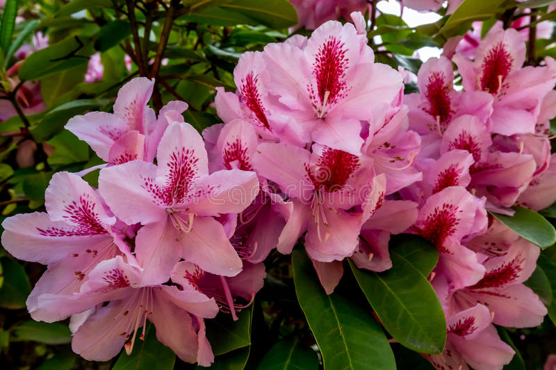 Download The Beautiful Pink Pacific Rhododendron Stock Photo - Image of plant, northwest: 64327328