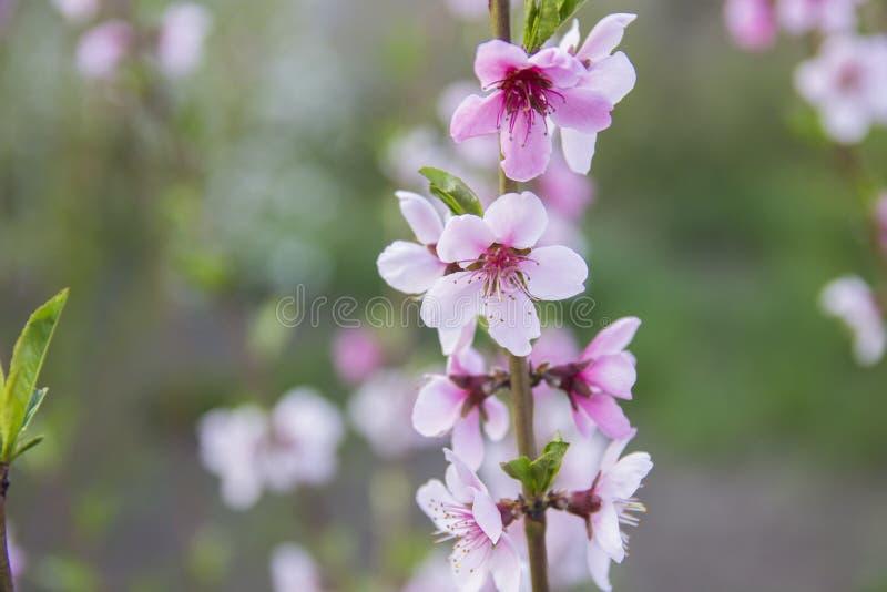 Beautiful pink peach bloom stock image
