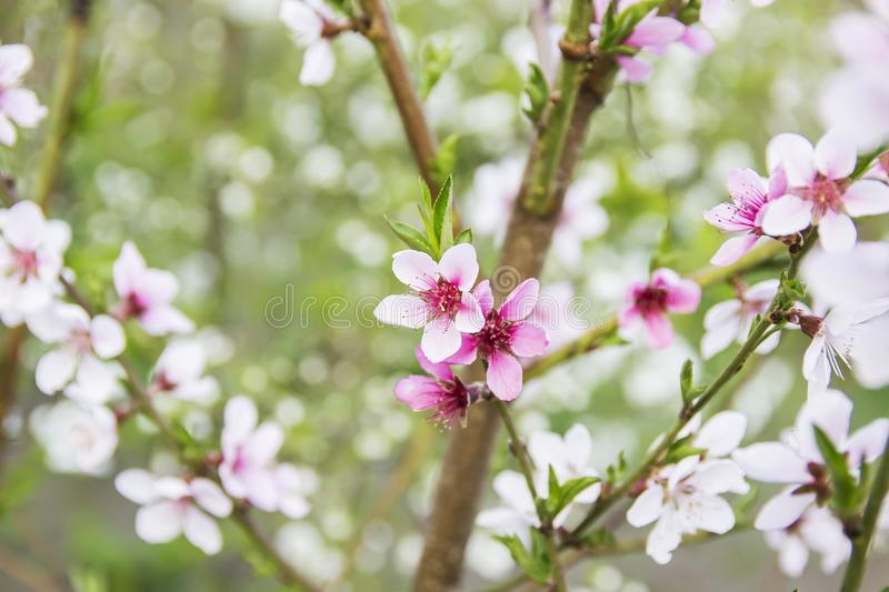 Beautiful pink peach bloom royalty free stock photography