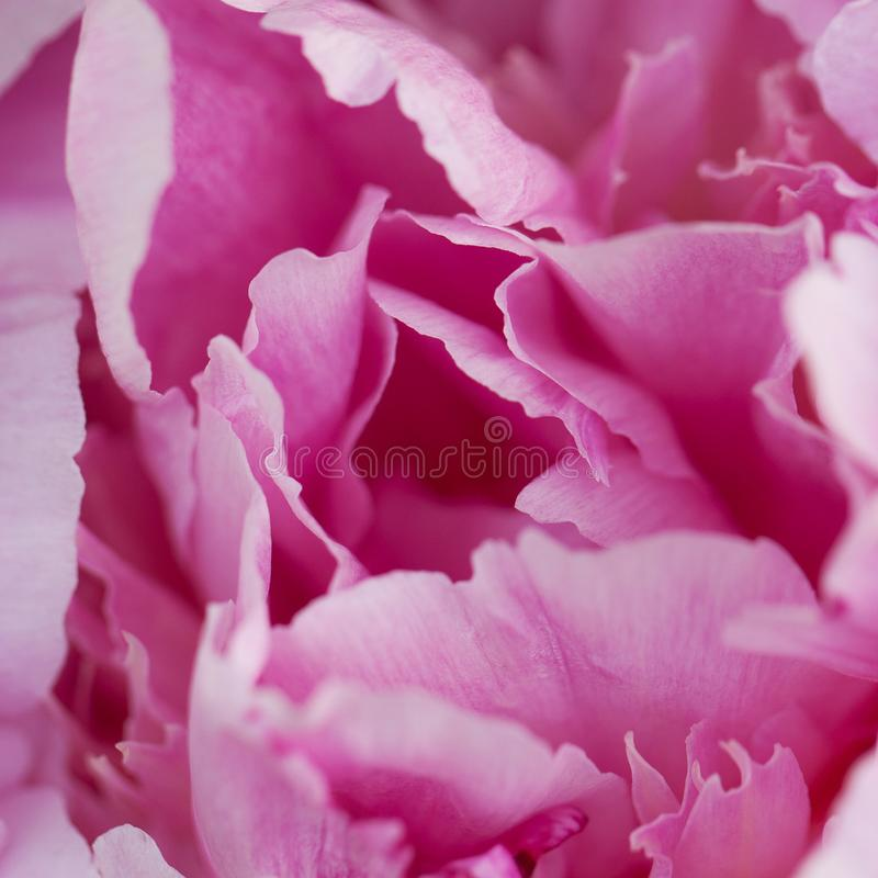 Beautiful pink peony, close-up. Beautiful fluffy bright pink peony flowering in the garden, close-up royalty free stock photography