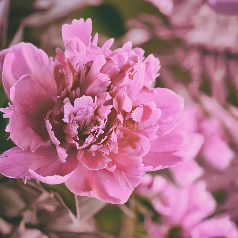 Pink peony flower. Beautiful pink peony flower in the garden royalty free stock image