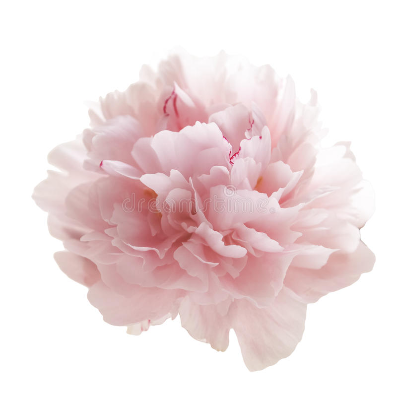 Beautiful pink peony flower isolated on white royalty free stock photography