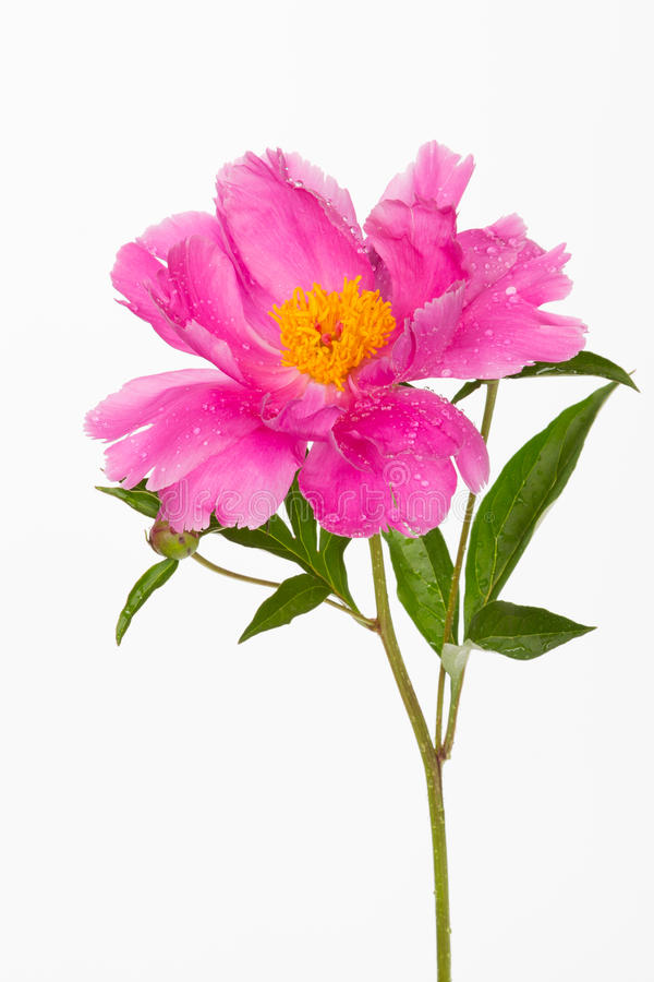 Beautiful pink peony flower royalty free stock image