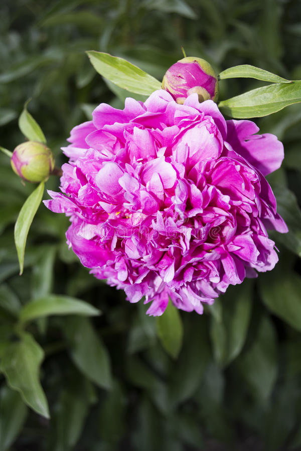 Beautiful pink peony stock photos