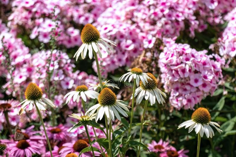 Beautiful pink phloxes and purple cone flowers echinacea in a summer flower bed stock images