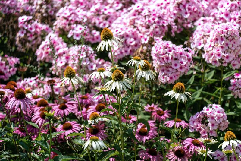 Beautiful pink phloxes and purple cone flowers echinacea in a summer flower bed royalty free stock image